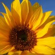 Sunflower under blue sky — Stock Photo #2242952