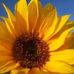 Sunflower under blue sky — Stock Photo #2242952
