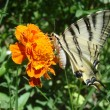 Stock Photo: Papilio butterfly