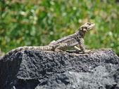 Wild lizard — Stock Photo