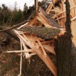 Trees devastated by windstorm — Stock Photo