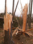 Trees damaged by windstorm — Stock Photo