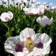 Flowering white poppies — Foto Stock