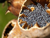 CLose-up of poppy seeds — Stock Photo