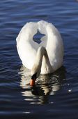 Elegant swan with clean feather — Stock Photo
