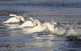 Swan family flap on the river — Stock Photo