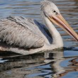 Big Pelican float on the water — Stock Photo