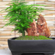 Bonsai artwork — Stock Photo