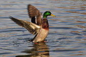 Wild duck flap the wing — Stock Photo