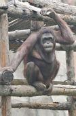 Gorilla in zoo — Stock Photo