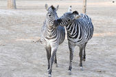 Zebra brother — Stock Photo