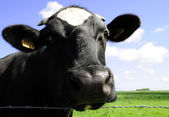 Cow in farm land — Stock Photo