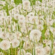 Dandeliions — Stock Photo