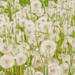 Stock Photo: Dandeliions