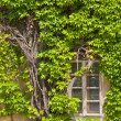 Ivy and window — Stock Photo