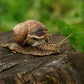 Snail on a mission — Stock Photo