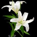 White lily — Stock Photo #2379325