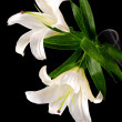 White lily - Stock Photo