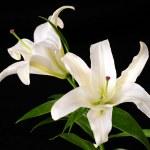 White lily — Stock Photo #2379443