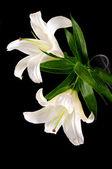 Lirio blanco — Foto de Stock