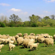 Sheep grazing - Stock Photo