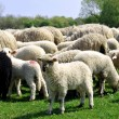 Sheep grazing — Stock Photo #2431988