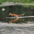 Royalty-Free Stock Photo: Running fox in the river