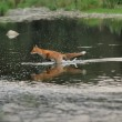 Running fox in the river — Foto Stock