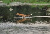 Running fox in the river — Stock Photo