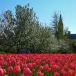 Stock Photo: Tulips near parlaiment