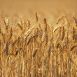 Wheat — Stock Photo #2185088