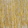Thickets of reeds — Stock Photo