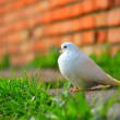 White pigeon - Stock Photo
