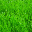 Fresh green grass — Stockfoto
