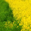 Stock Photo: Fresh green grass and vivid yellow rape