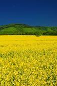 Vivid yellow rape field, deep blue sky — Stock Photo