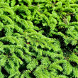 Close up of fir tree — Stock Photo