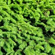 Stock Photo: Close up of fir tree