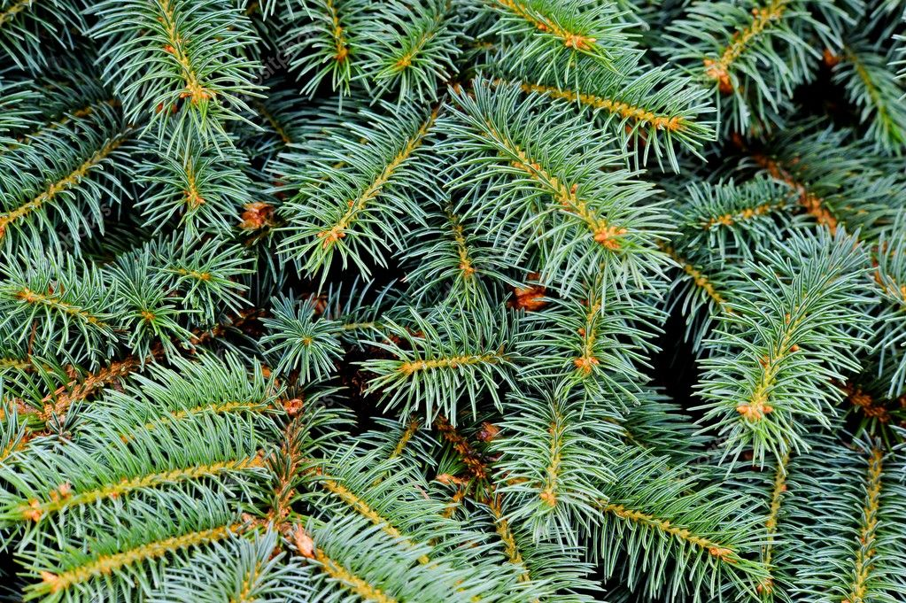 Close up of fir tree  Foto de Stock   #2284551