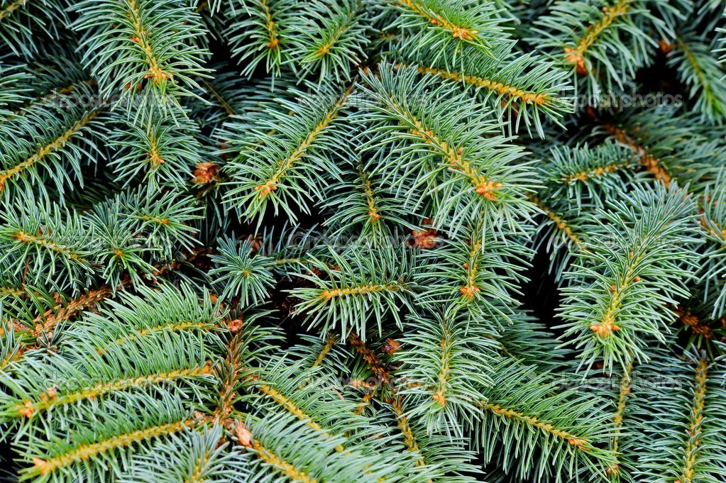 Close up of fir tree — Photo #2284551