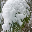 Close up of fir tree — Stock Photo #2347006