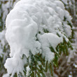 Stockfoto: Close up of fir tree
