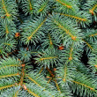 Close up of fir tree — Stock fotografie