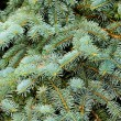 Close up of fir tree — 图库照片