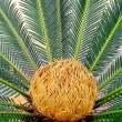 Stock Photo: Sago cycas