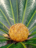 Sago cycas — Stock Photo