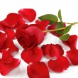 Red rose and rose petals — Stock Photo