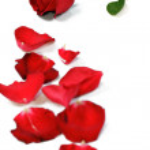 Gül çiçek yaprakları ile — Stok fotoğraf