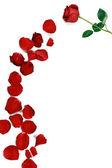 Květ růže s lístky — Stock fotografie