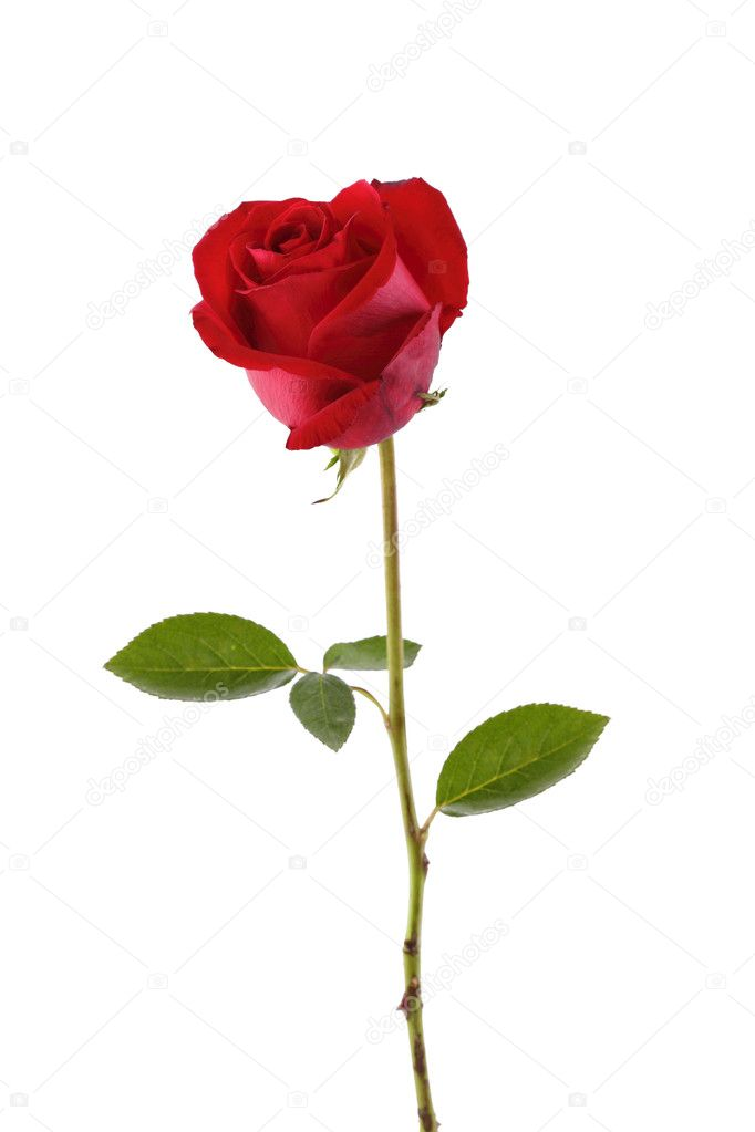 A stalk of red rose isolated in white — Stock Photo #2146640